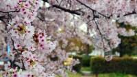 Autumn Cherry (Prunus Subhirtella X Sargentii 'Accolade ...