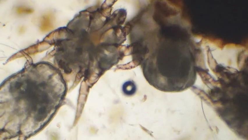 Veterinary Medicine Ear Swab Of A Cat's Ear Revealing Heavy Ear Mite (Otodectes Cynotis) Infestation. Two Mites Breeding. Microscopic ...