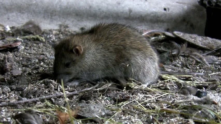 Rat Is Feeding In Its Natural Habitat. Filthy Farm Ground Stock Footage Video 3364202 - Shutterstock