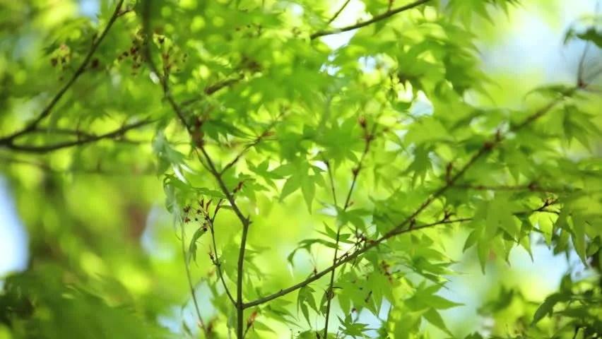 Japanese Maple Tree Wind Green Coloured Leafs Koch Sanso Garden Arashiyama Park And Sagano Bamboo Grove Kyoto Japan Stock Footage Video 7800097 ...