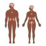 Endokrin Bezleri Ve Hormonları