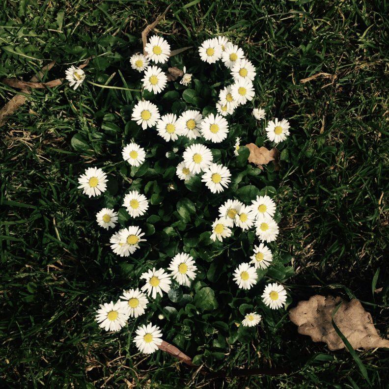daisies like natural killer cells flourish
