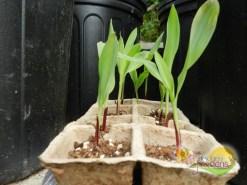 purple-corn-1-week-old--ilandvibez-stmaarten