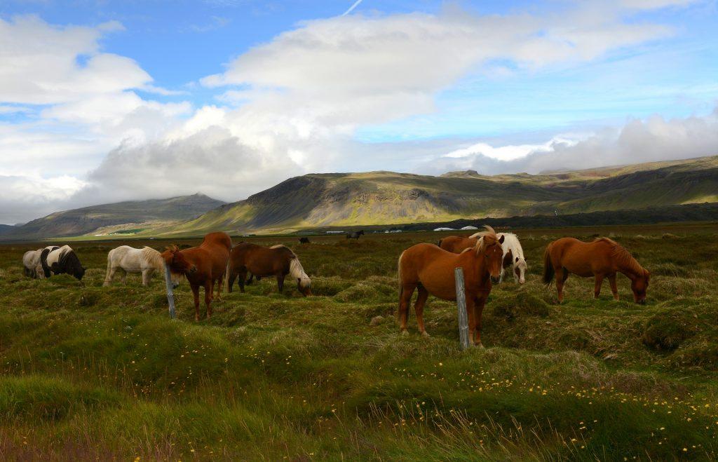 Un gruppo di placidi cavalli islandesi