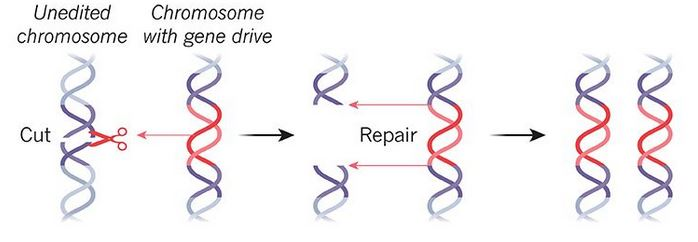 Meccanismo di funzionamento del gene drive