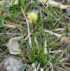 Carex_caryophyllea carice primaticcia