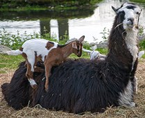 Lama and Goat
