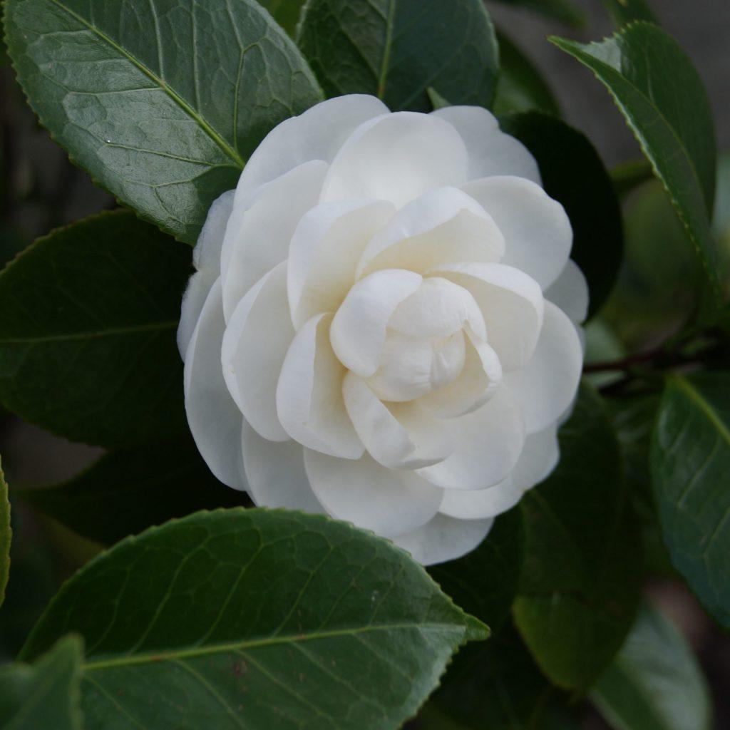 camélia fleur