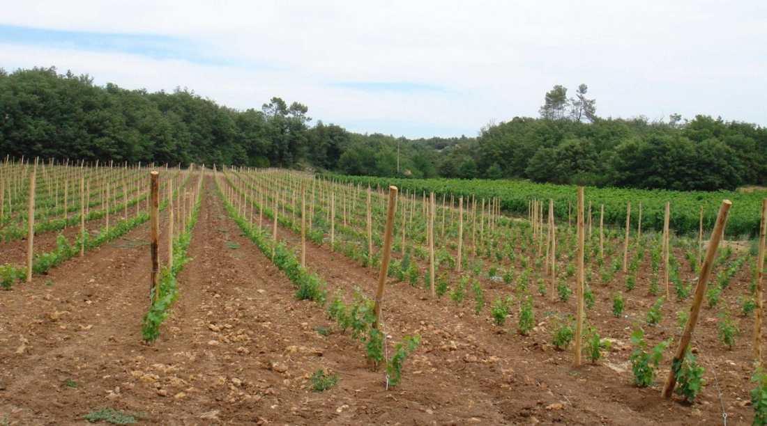 Plantation nouvelle Syrah