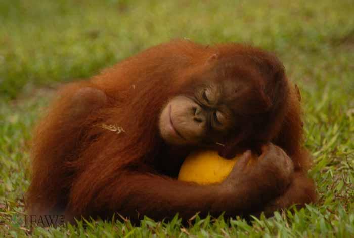 500 oranghi rimasti orfani vivono in centri di reinserimento