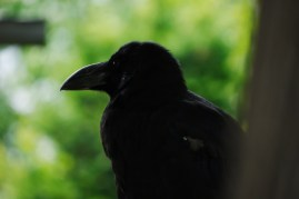 P1180434_sapporo_crow