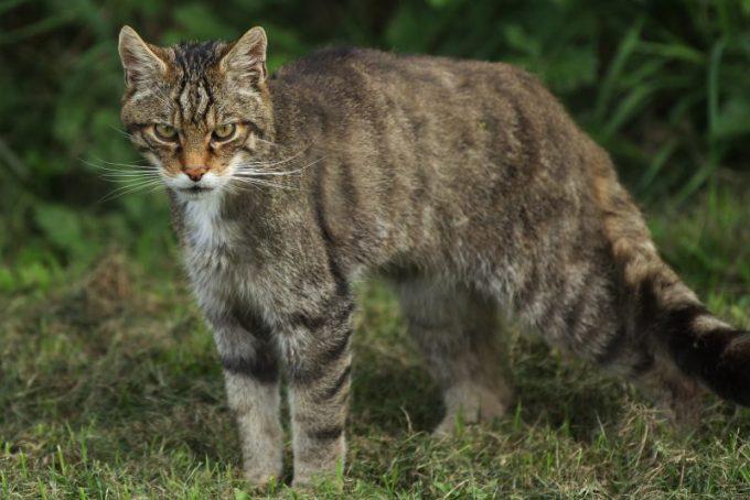 Nama Latin Kucing Habitat Kasifikasi Dan Karakteristik