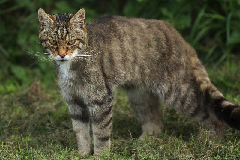 nama latin kucing