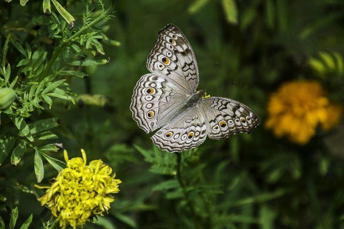 ciri-ciri kupu-kupu