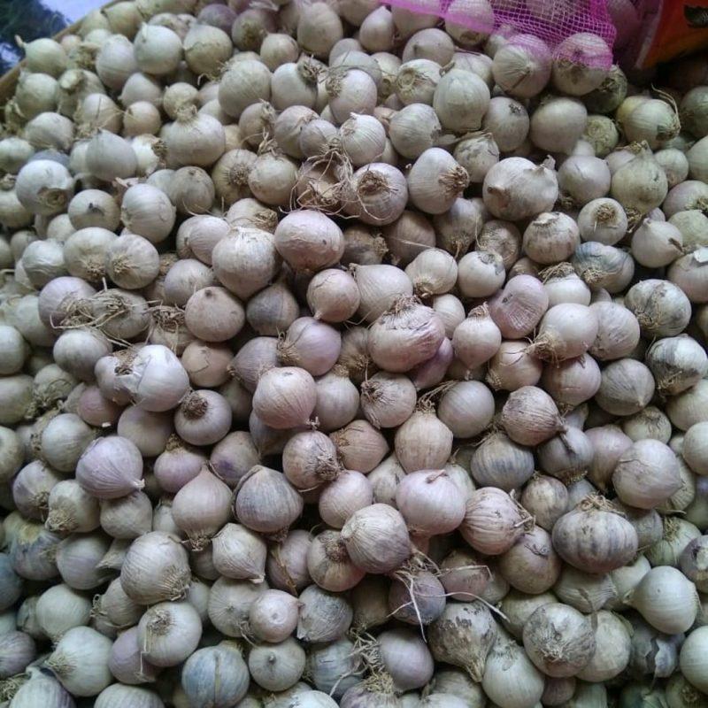 jual bawang putih tunggal