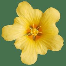 ilima_flower