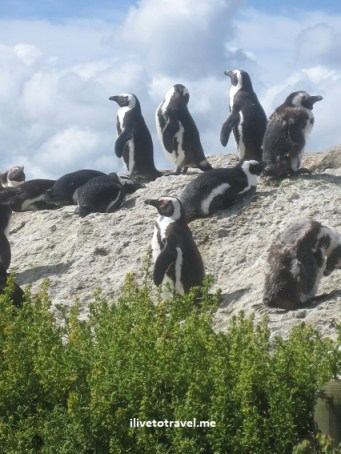 Penguins in Simon's Town, South Africa near the Cape of Good Hope