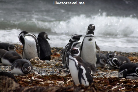 Penguins in Otway, north of Punta Arenas, Chile