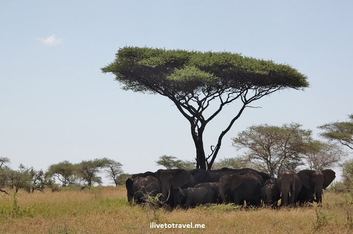 Safari, Serengeti, Tanzania, wildlife, animls, elephant, school, outdoors, nature, photo, Canon EOS Rebel, acacia