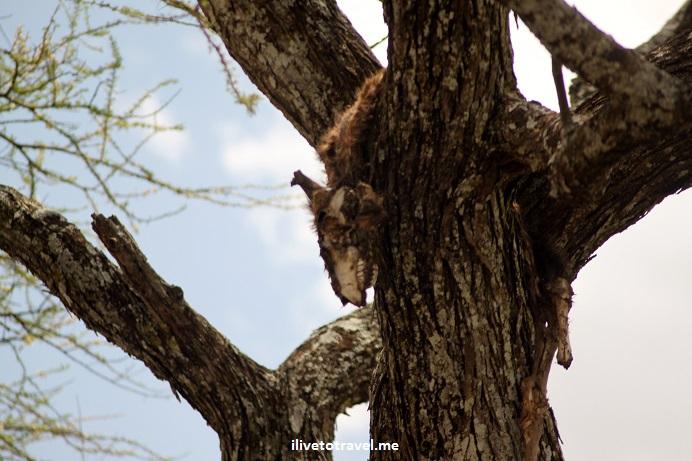 Safari, Serengeti, Tanzania, wildlife, animls, wildebeest, gnu, outdoors, nature, photo, Canon EOS Rebel