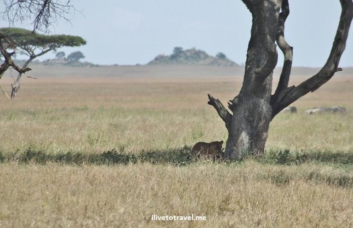 Lioness, lion kill, wildebeest, Serenget, safari, Tanzania, photo essay, gnu, Africa, outdoors, nature
