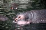 hippopotamus, hippos, safari, wildlife, Serengeti, Tanzania, Africa, birds, photos, Canon EOS Rebel