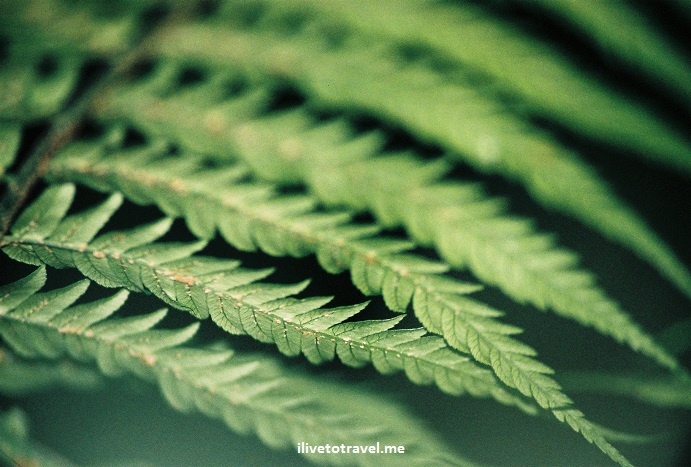 fern, Australia, flora, vegetation, photo, green, travel