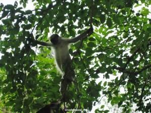 Zanzibar, Jozani, Chwaka Bay, National Park, colobus, monkey, photo, travel, Tanzania