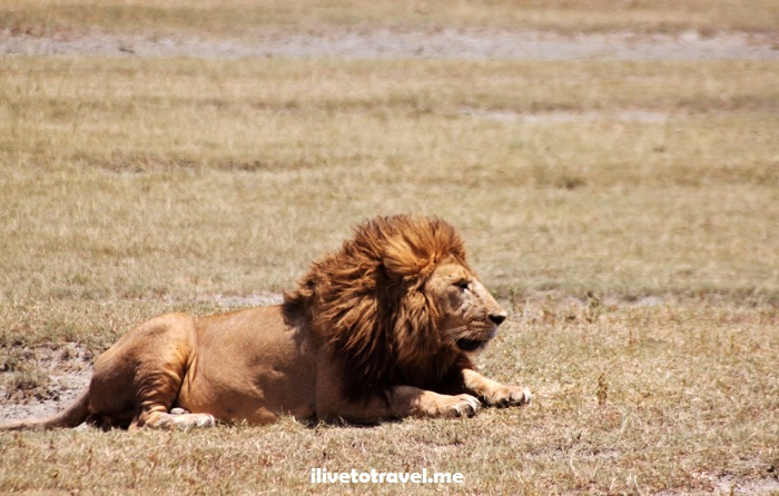 Ngorongoro, Serengeti, safari, Tanzania, explore, adventure, Africa, travel, photos, lion, wildlife