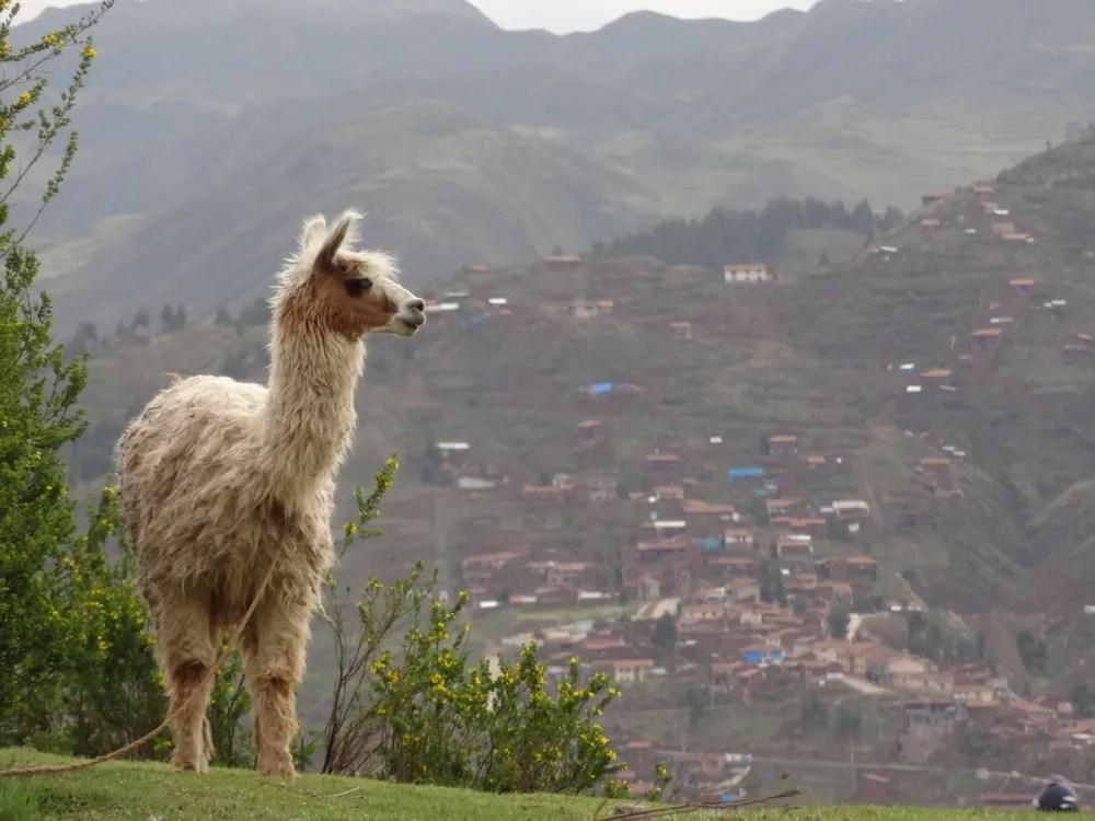 Hilltop llama