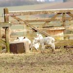 Roy Foulkes: Spring: A couple of photos of lambs in fields near to West Hallam.