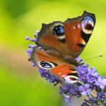 My favourite Peacock Butterfly shot this summer, the background colours complime…