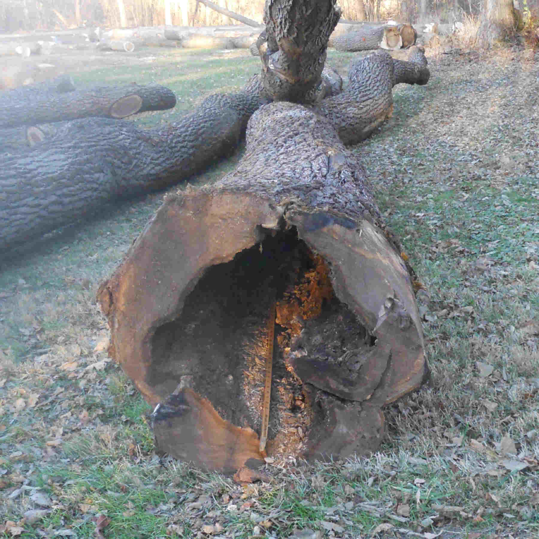 How Much Is A Walnut Tree Worth In Illinois