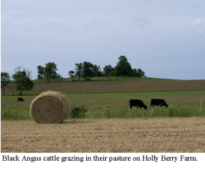 Hay and Cows