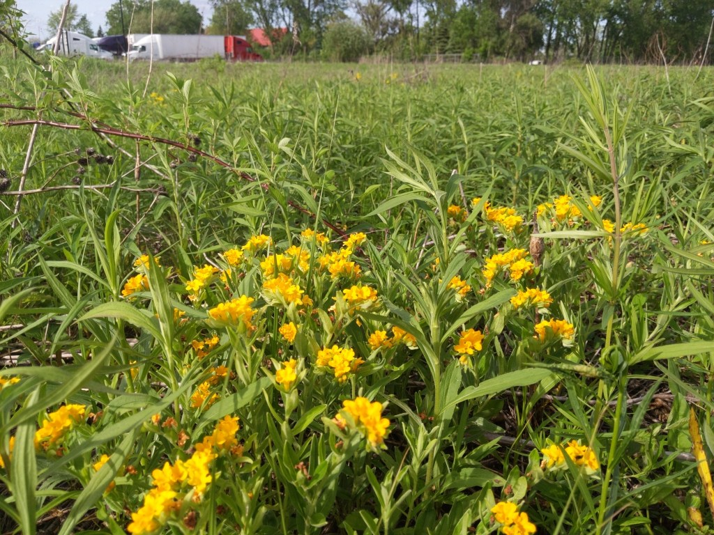 Photo of a patch of Hoary puccoon with prairie in the background. Semi-trucks are noticeable on road in the back