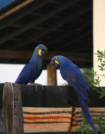 Hyacinth Macaws - photo courtesy of thedailygreen.com