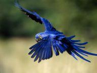 Hyacinth Macaw - photo courtesy of animals.nationalgeographic.com