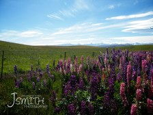 Mountains, Lupins, Colourful