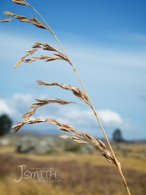 Each grain ready to fall to the ground. This grass finished, another waiting to sprout.