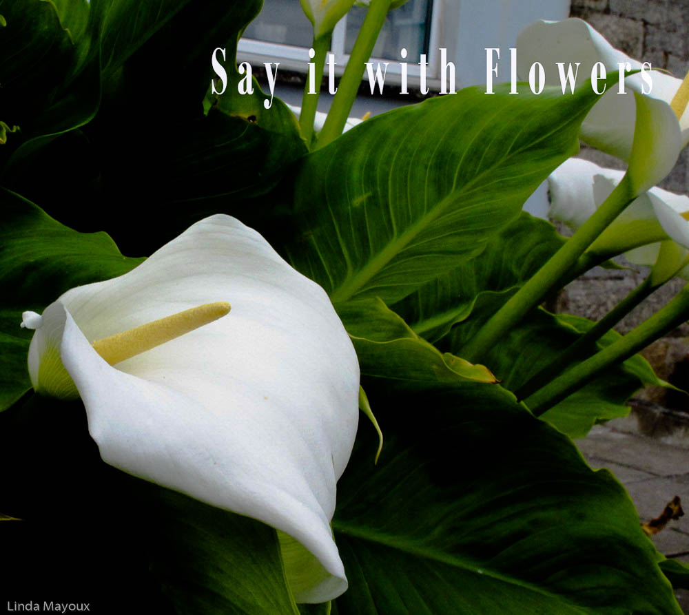 Say it With Flowers: Calla Lilly 1 Love, Purity and Fertility
