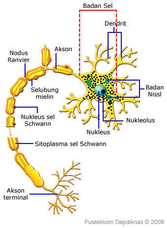 Yang Dinamakan Dengan Unit Terkecil Sistem Saraf Adalah : dinamakan, dengan, terkecil, sistem, saraf, adalah, Edukasi, Sistem, Saraf, Manusia, [Keluarga, Ilma95:, Erman,, Malini,, Fadhil, Ilma,, Ihsan, Salsabila, Saumi, Ilma]
