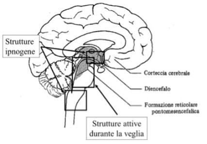 http://www.riposoesalute.com/magazine/neurofisiologia-del-sonno-102