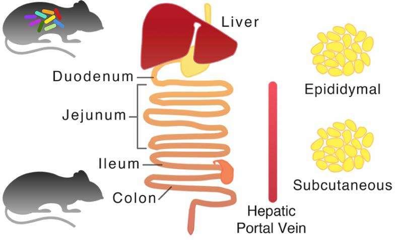 Una mappa generica del metabolismo del mouse è stato creata e sono stati generati modelli al computer di tessuti specifici per i principaldeldi topo. Attraverso l'integrazione di alta capacità di trattamento dei dati in modalità sperimentale, il ricercatore ha scoperto che il microbiota nell'intestino tenue consuma glicina, la quale è uno dei tre aminoacidi necessari per la sintesi del glutatione. I risultati sono stati confermati dai test di laboratorio dal vivo. Credit: KTH Reale Institute of Technology