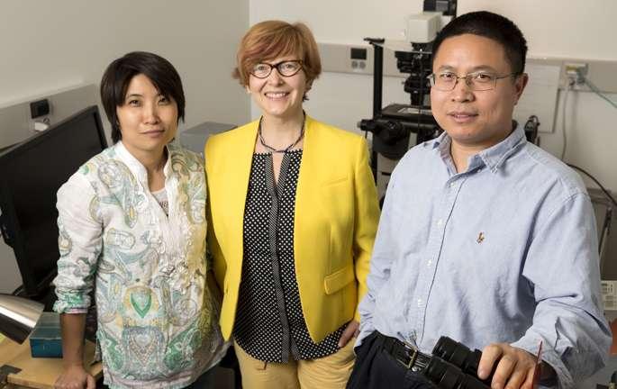 Gli autori della ricerca: da sinistra Xiadong Zhu, Ph.D., Irina Kaverina, Ph.D., Guoqiang Gu, Ph.D. Credit: Joe Howell