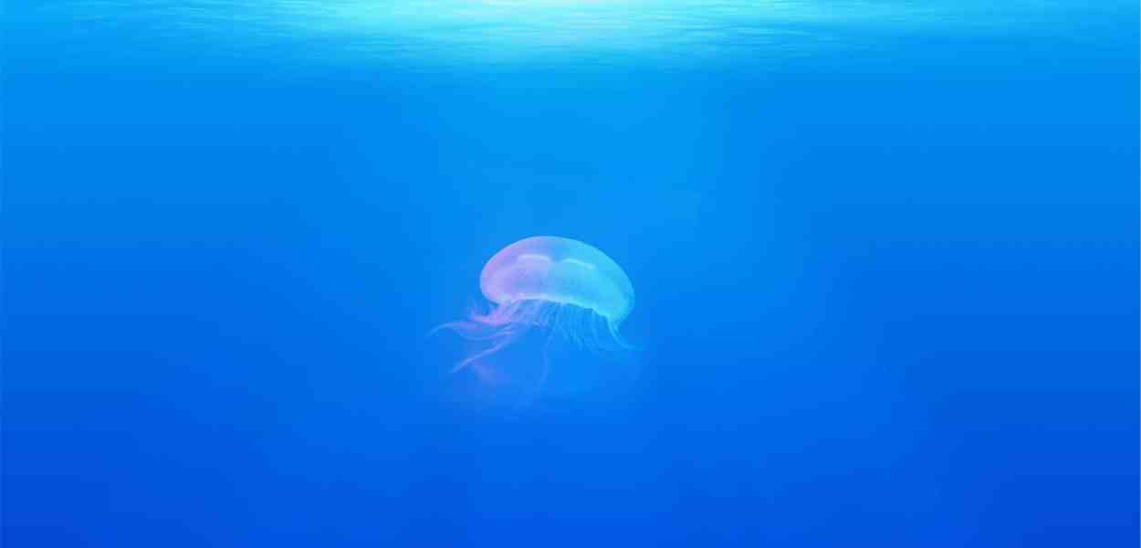 jellyfish, animal, underwater