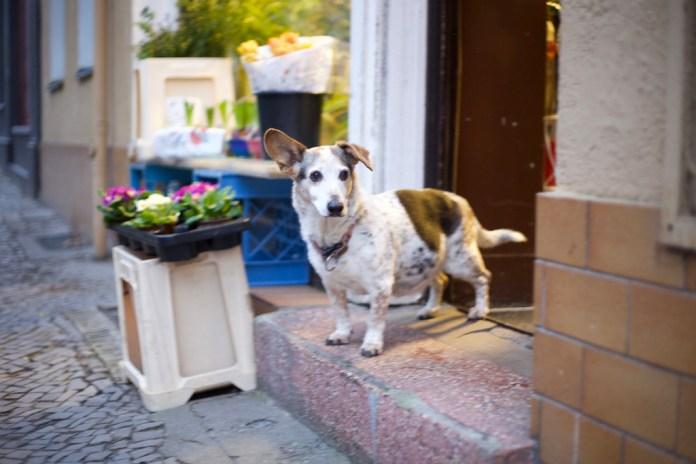 cane a Berlino