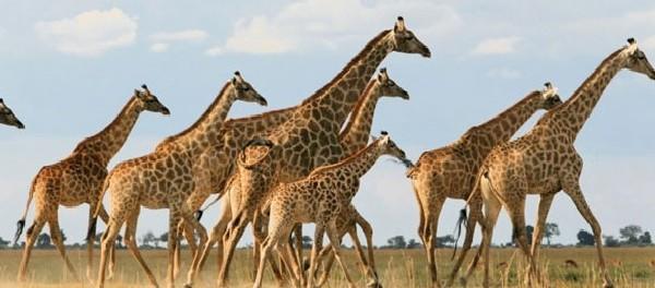 Jerapah (Giraffe)