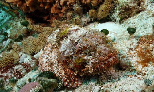 Ikan Lepu Batu (Stonefish)