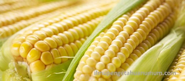 Kandungan Gizi Jagung dan Manfaat Jagung bagi Kesehatan