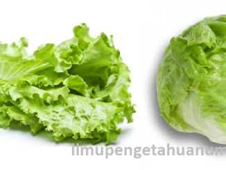 Manfaat Sayur Selada dan Kandungan Gizi Daun Selada